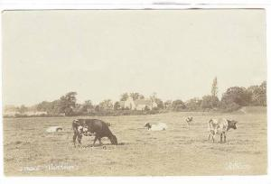 RP, Cows/Cattle, Typical Scene, 1920-1940s