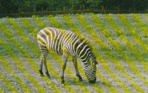 Canada Zebra At Alberta Game Farm Edmonton Alberta
