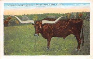 Texas Long Horn, Steer Cow Unused