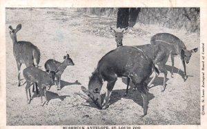 Bushbuck Antelope,St Louis Zoo,St Louis,MO BIN