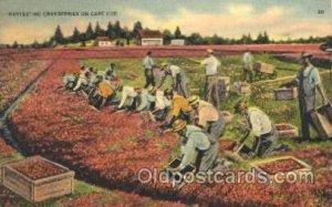 Harvesting Farming, Farm, Farmer, Postcard Postcards Harvesting Cranberries C...