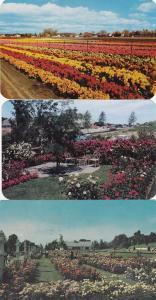 (3 cards) Jackson & Perkins Rose Garden - Newark NY, New York - pm 1964