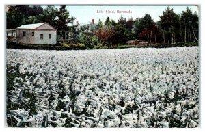 BERMUDA, Caribbean Islands ~ Large FIELD of LILIES  c1910s  Postcard