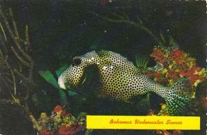 Bahamas Underwater Scenes Shellfish Lactophrys bicaudalis