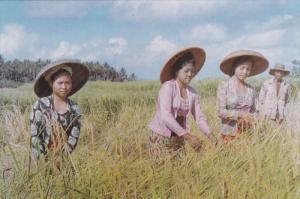 Rice Harvest In Bali, Indonesia, 1950-1970s