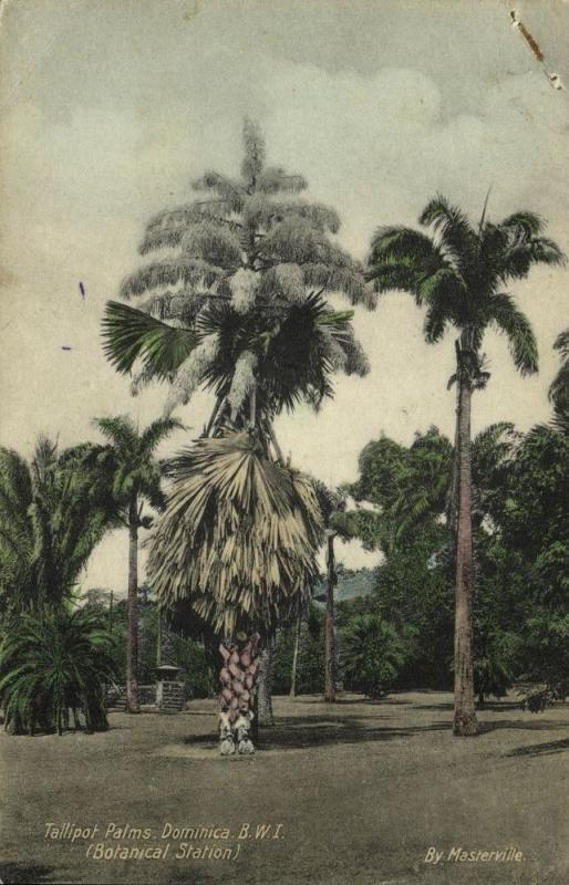 dominica, B.W.I., Tallipot Palms in Botanical Station (1934)