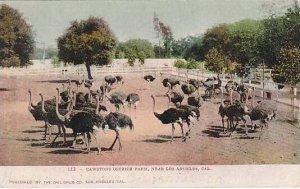 California Pasadena Cawsons Ostrich Farm Ostriches 1907