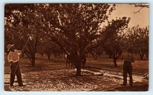 ORLAND, CA California GATHERING ALMONDS Agriculture c1910s Glenn County Postcard
