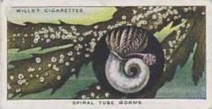 Wills Vintage Cigarette Card The Sea-Shore No 35 Spiral Tube Worms  1938