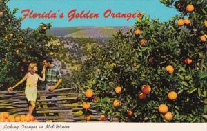 Florida Picking Oranges In Mid-Winter