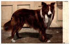 Dog ,  collie