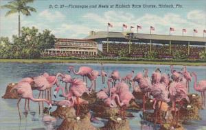 Florida Hialeah Flamingos and Nests At Hialeah Race Course Curteich