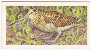 Trade Card Brooke Bond Tea Wild Birds in Britain 25 Woodcock