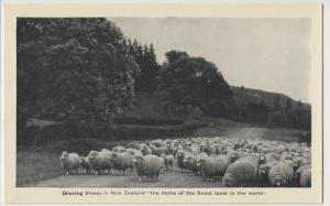 New Zealand; Droving Sheep In NZ, Finest Lamb In The World PPC, Unused, c 1920