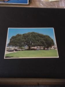 Vtg Postcard:  Santa Barbara CA. Moreton Bay Fig Tree