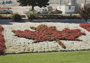Mapleleaf in flower bed , KAMLOOPS , B.C. , Canada , 50-70s