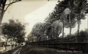 Singapore Travellers Palm c1920 Real Photo Postcard