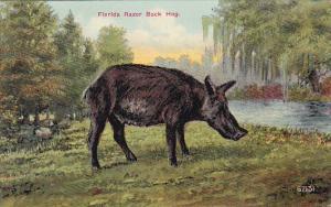 Baby Florida Razor Back Hog