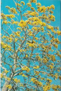 Florida The Cassia Or Golden Shower Tree