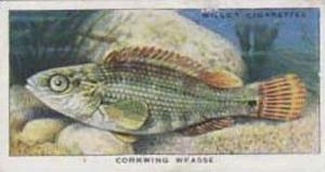 Wills Vintage Cigarette Card The Sea-Shore No 3 Corkwing Wrasse  1938