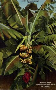 Florida Sarasota Jungle Gardens Banana Tree Showing Bud and Fruit Curteich