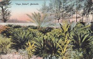 Bermuda Sago Palms