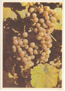 Grapes, Grands Vins du Valais, VARONE SION, Switzerland, unused Postcard