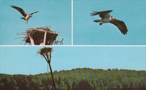 Wisconsin Hayward Nelson Lake Lodge Osprey