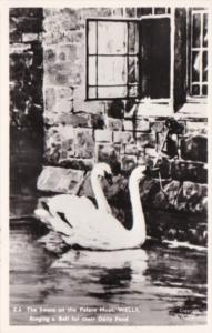 England Wells The Swans On The Palace Moat Ringing A Bell For Their Daily Fee...