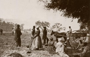 SC - Hopkinson Plantation, 1862. Freed Slaves Planting Sweet Potatoes
