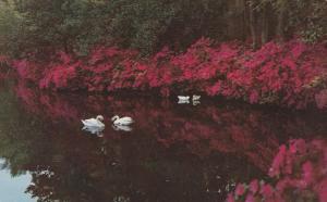 Swans at Airlie Gardens - Wilmington NC, North Carolina