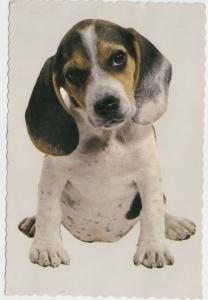 BEAGLE Dog, unused Postcard