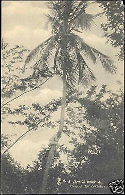jamaica, Climbing the Cokernut Tree Coconut (1910s)