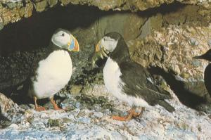 Common Puffins Birds National Museum Of Natural Sciences Canada Postcard D30
