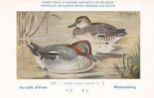 Eurasian Teal Anas Crecca Old Bird Rare Postcard