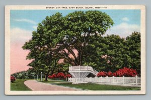 Sturdy Oak Tree, East Beach, Biloxi, MS Postcard