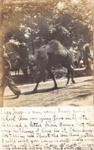 Hudson Michigan~Camels Walking along Road~Parade?~Street View~1907 RPPC