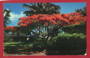 HAWAII, THE FLAME TREE ROYAL POINCEANA 1964 3.5 X 5.5 SEE SCAN