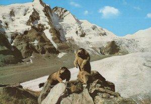 Marmot Murmeltiere Grossglockner Postcard & Special Frank