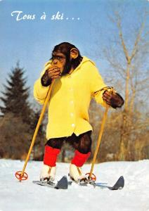 Wild Animals, Fauna Tous a ski... Charlie chimpanzee chimp skiing