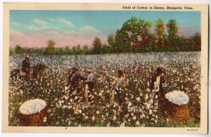 Cotton in Bloom, Memphis TN
