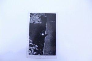 1946 Black & White Photo Postcard St. Ignace, MI Bear Climbing Tree Unposted