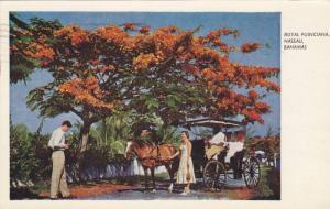 Royal Poinciana,  Nassau,  Bahamas,  PU_1959