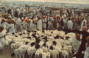 Saudi Arabia The Sacrifice at Mina Sheeps Postcard
