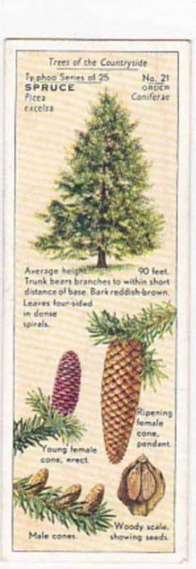 Typhoo Tea Vintage Trade Card Trees Of The Countryside 1936 No 21 Spruce