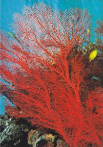 Soft Coral , Guam , 50-70s