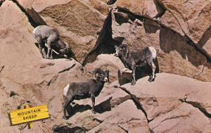 Rocky Mountain Sheep, Canadian Rockies, Jasper and Banff National Parks, Jasp...