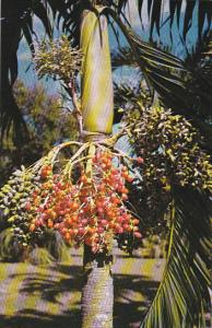 Jamaica Colorful Fruit of Date Palm