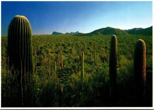 Arizona Tucson Saguaro National Monument Dense Stand Of Saguaro Cactus