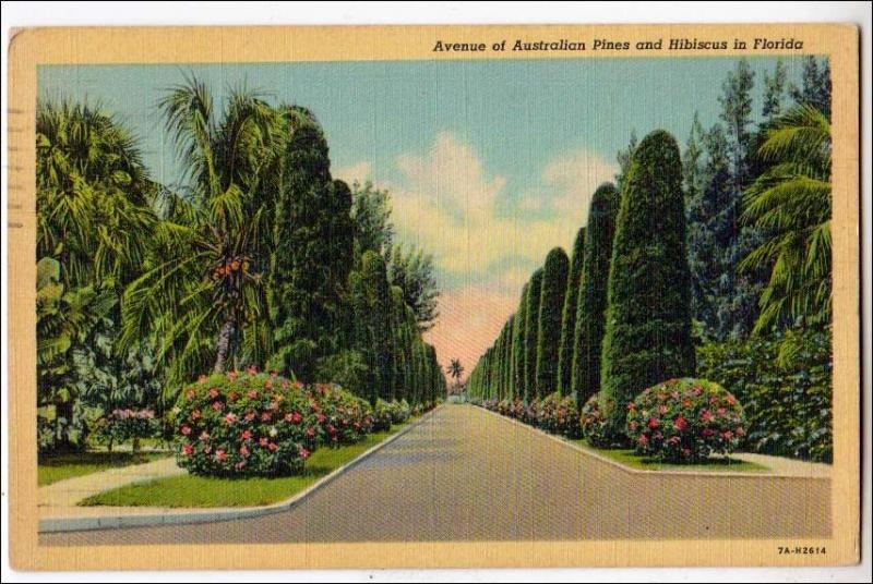 Ave of Australian Pines & Hibiscus, Florida